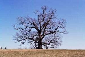 Oak Tree at Oak Ridge Estate
